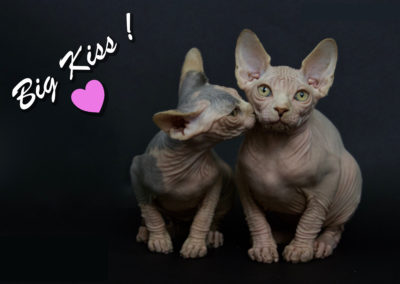 Sphynx Kiss - copie 2